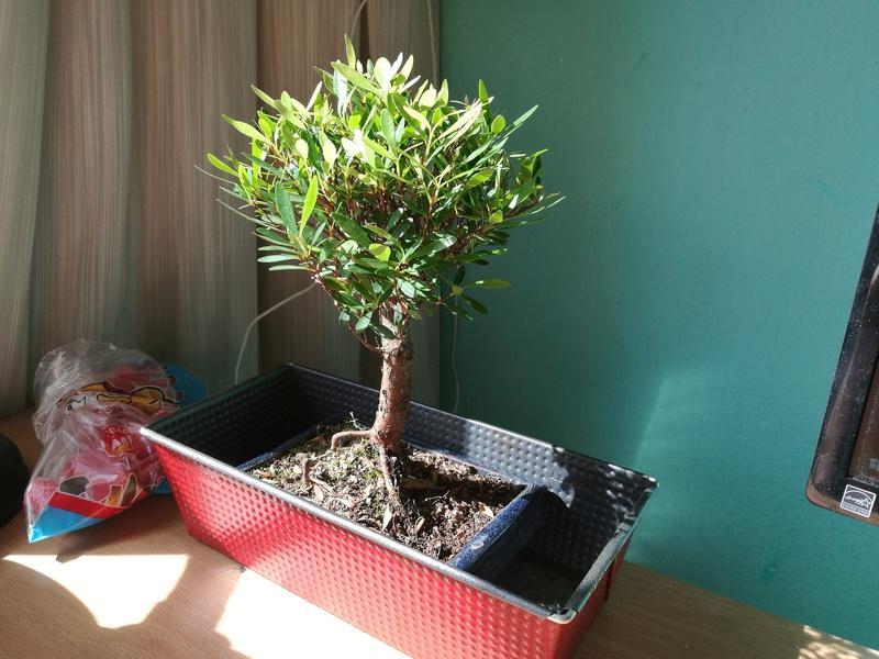 Mi primer bonsai (¿Qué tipo es?) Peque310