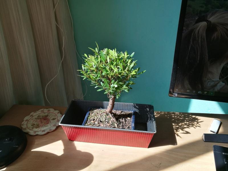 Mi primer bonsai (¿Qué tipo es?) Peque410