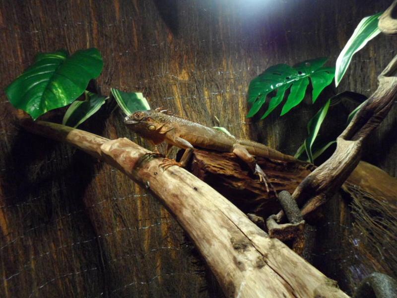 Terrarium maison de mon iguane rouge gaston Sam_1613