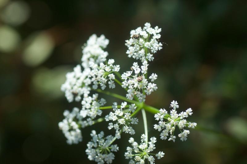 Selinum ? [Conopodium majus] D3c_0013