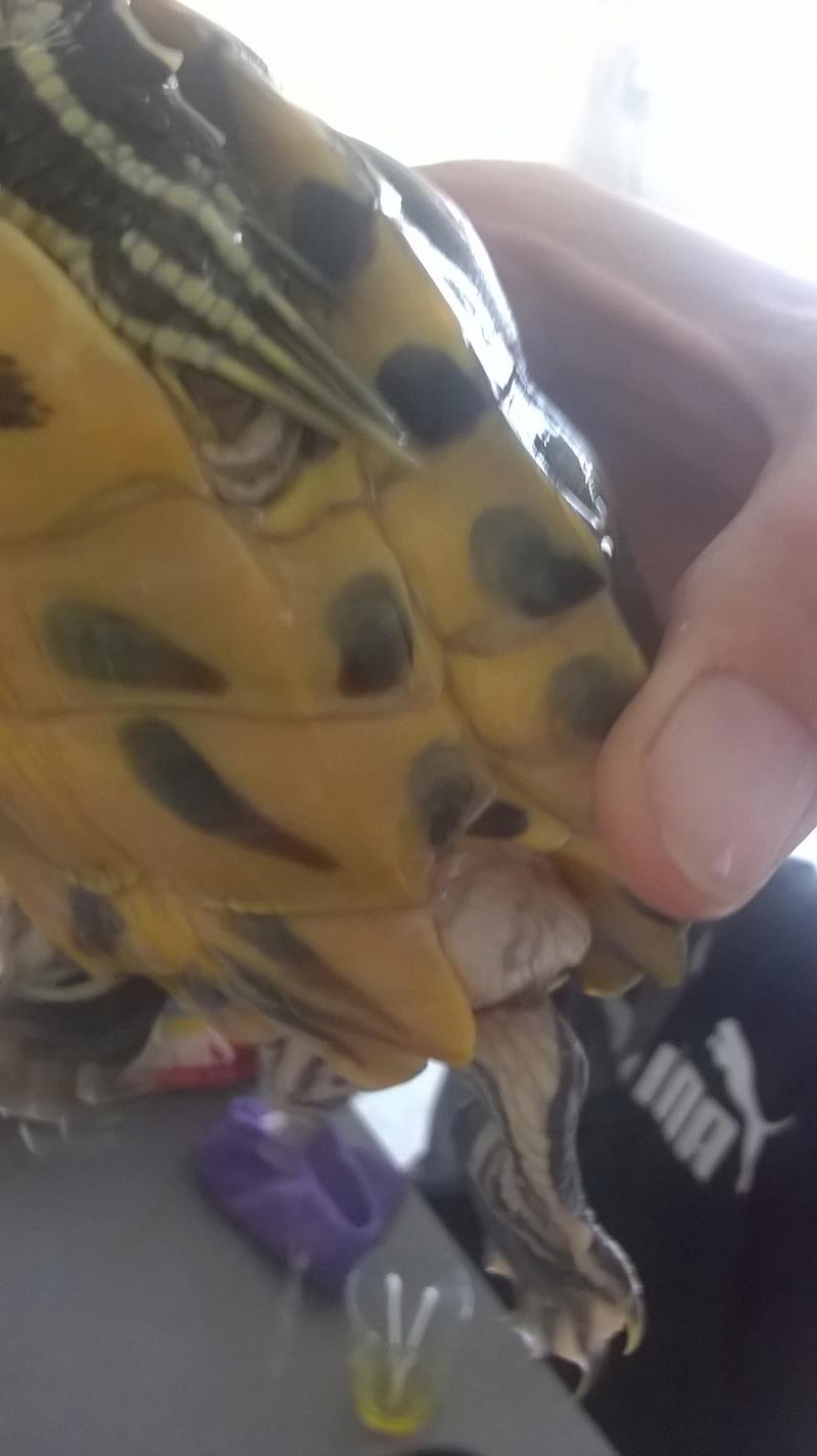 Ma tortue est gonflé sous sa carapace comme de l'eau Wp_20110