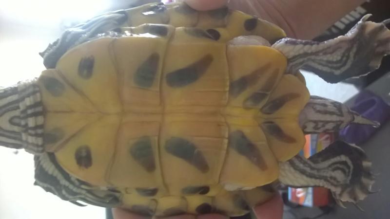 Ma tortue est gonflé sous sa carapace comme de l'eau Wp_20111