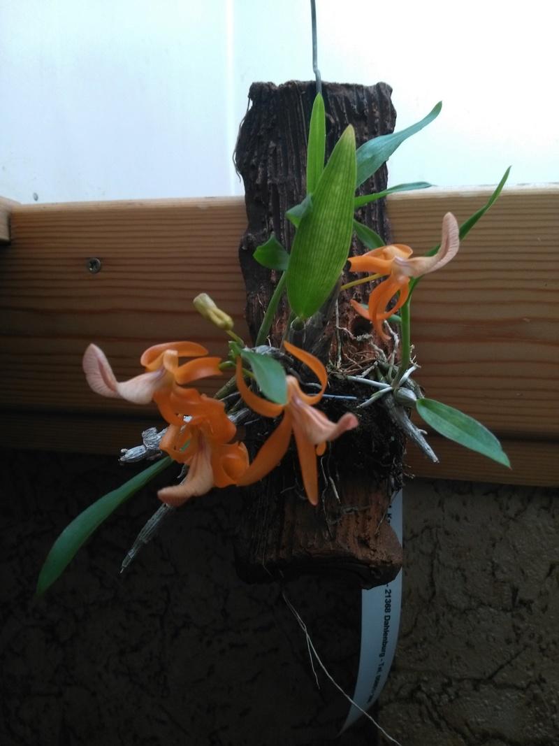 Dendrobium unicum Img_2010