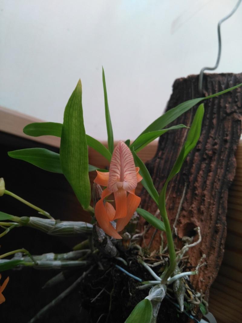 Dendrobium unicum Img_2011