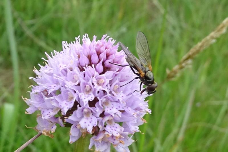 Syrphidae sur Traunsteinera globosa dans l'Ain Trauns11