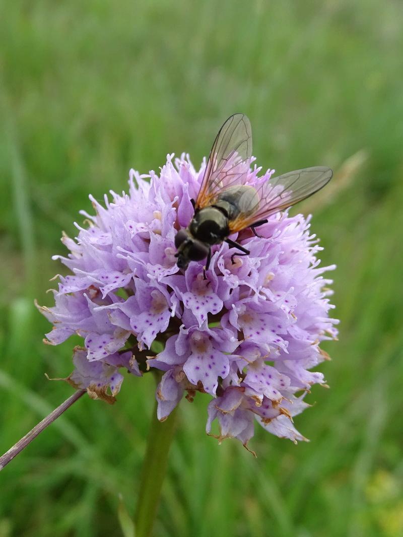 Syrphidae sur Traunsteinera globosa dans l'Ain Trauns12