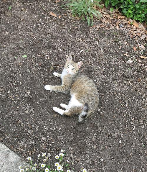 MALIKI, chatte européenne tigrée & blanche, née en mai 2016. Aide_a11