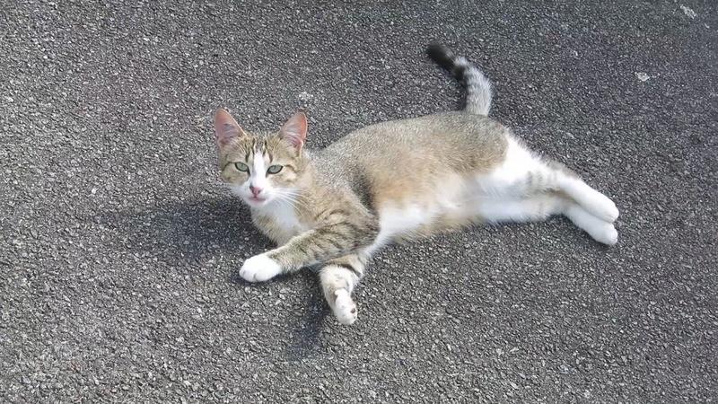 MALIKI, chatte européenne tigrée & blanche, née en mai 2016. Aide_a12