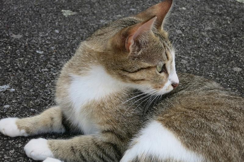 MALIKI, chatte européenne tigrée & blanche, née en mai 2016. La_plu10