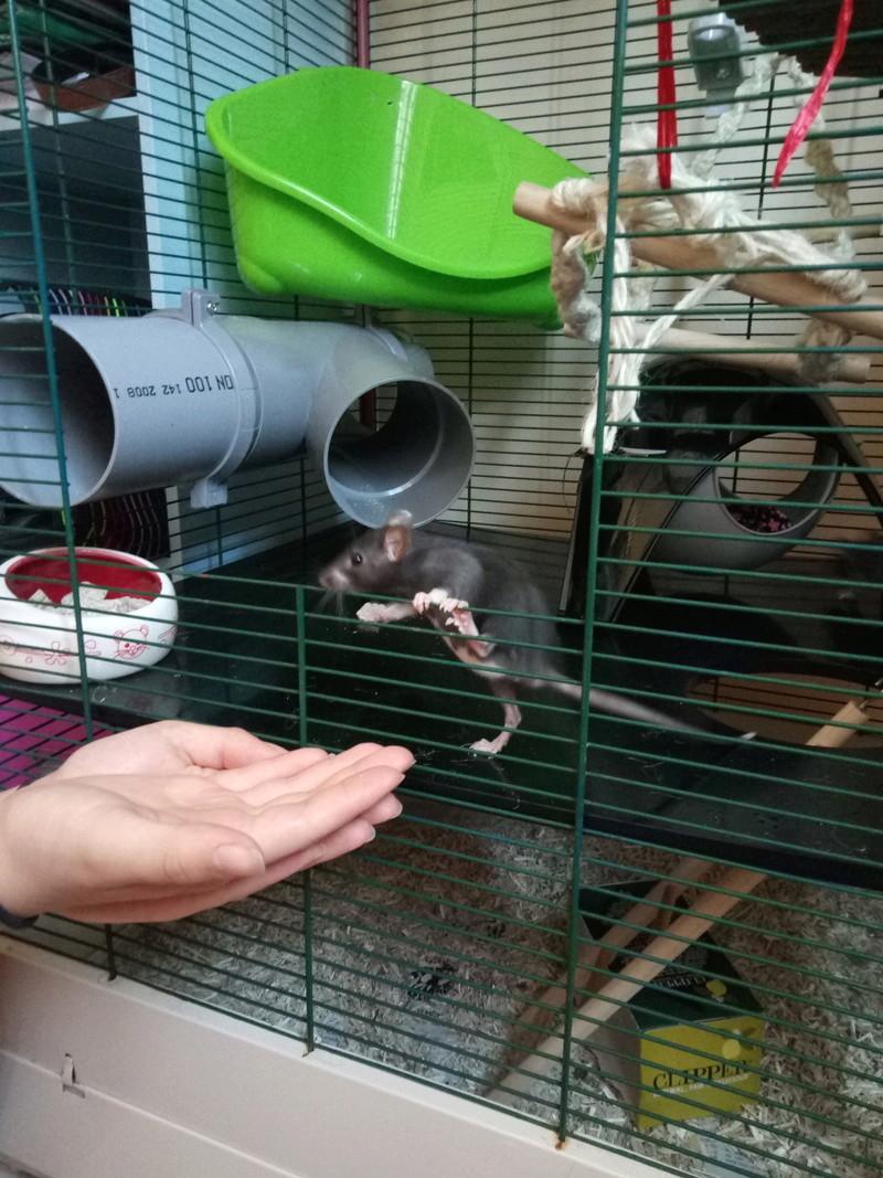 Besoin de conseils avant adoption de rats - Page 2 P7061010