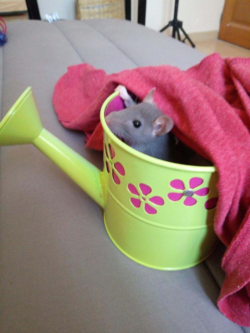 Besoin de conseils avant adoption de rats - Page 2 P7061110