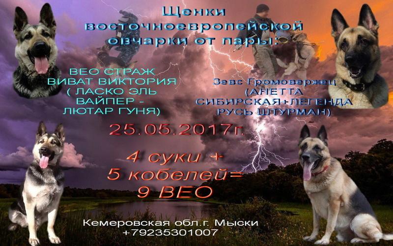 Восточноевропейской овчарки -щенки! Image12