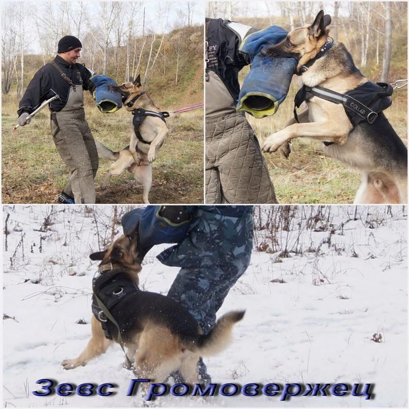 Восточноевропейской овчарки -щенки! Image14