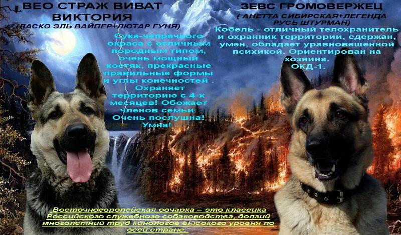 Восточноевропейской овчарки -щенки! Image_13