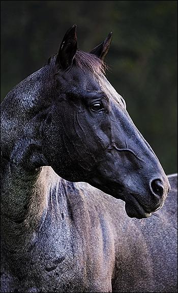 Quarter Horse - Silver - Etalon Quarte15