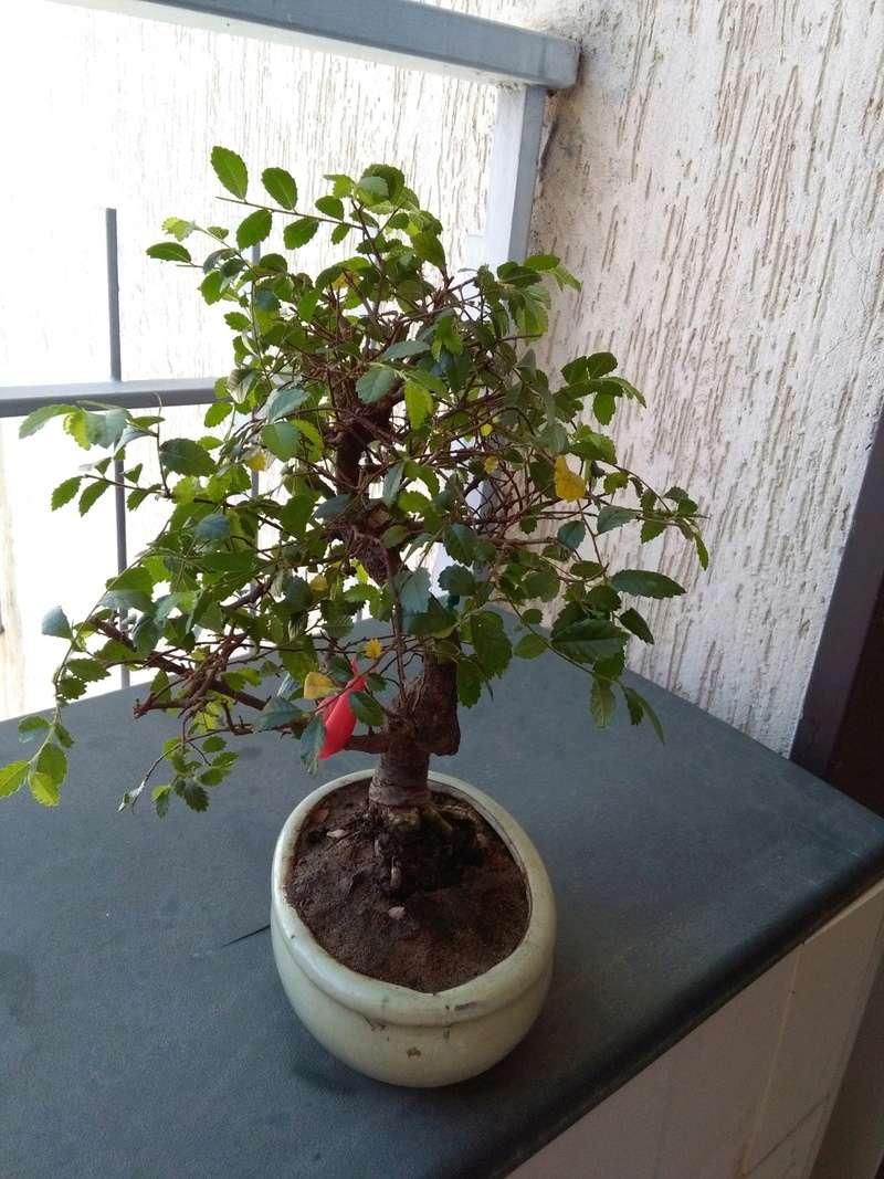 Olmo Cinese - Il mio Primo Bonsai (Una piccola guida) Dx_06-10