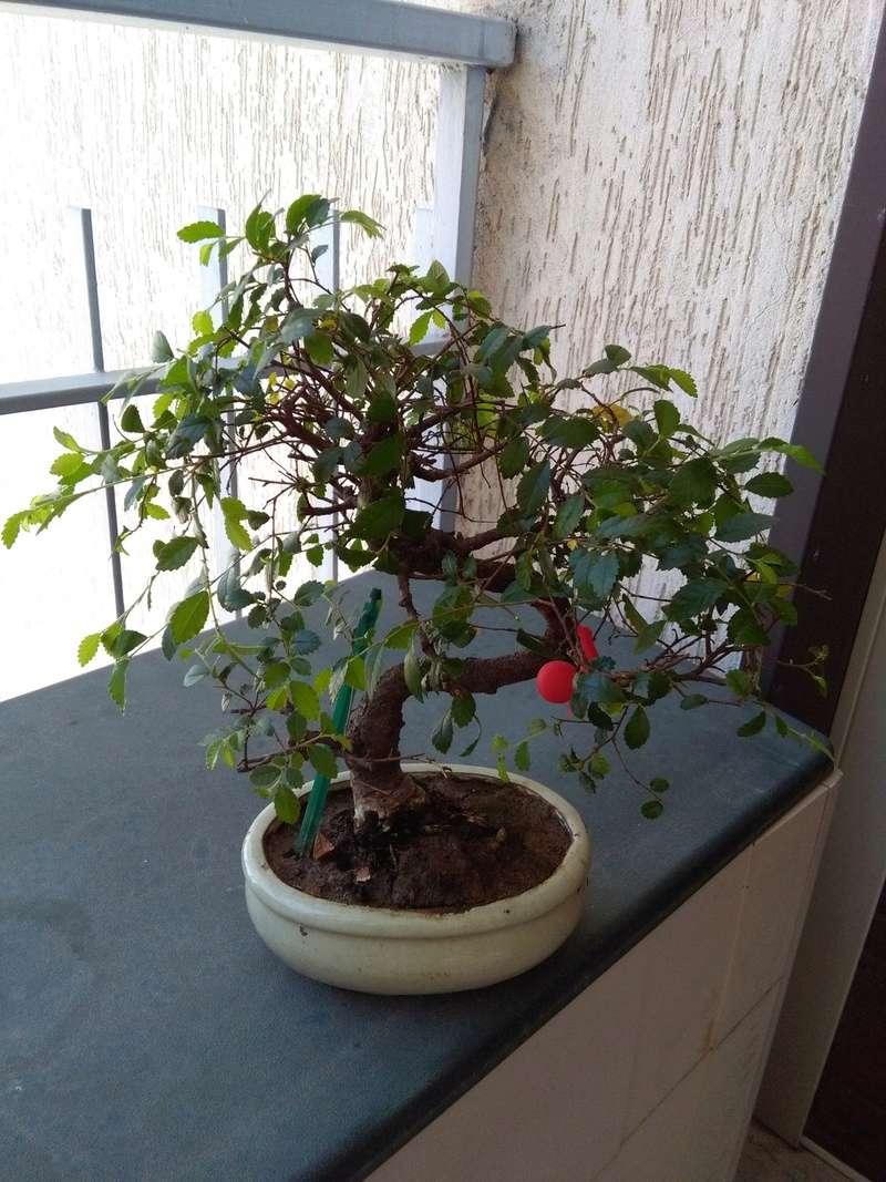 Olmo Cinese - Il mio Primo Bonsai (Una piccola guida) Fronte10