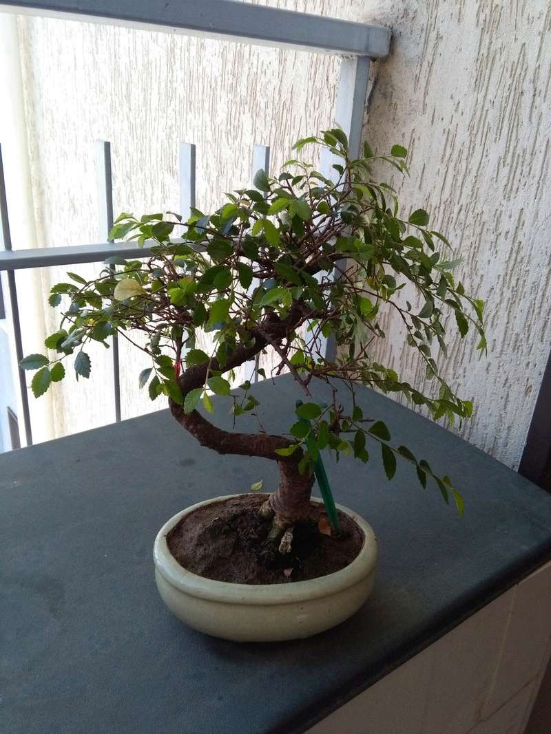 Olmo Cinese - Il mio Primo Bonsai (Una piccola guida) Retro_10