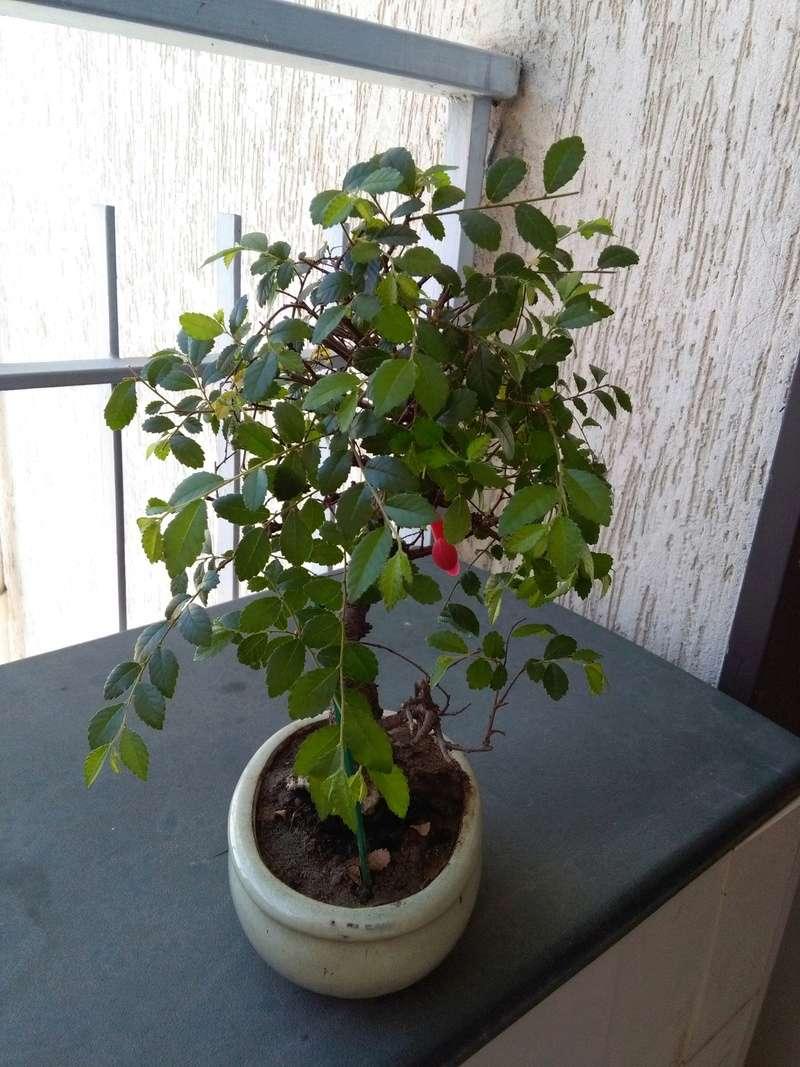 Olmo Cinese - Il mio Primo Bonsai (Una piccola guida) Sx_06-10