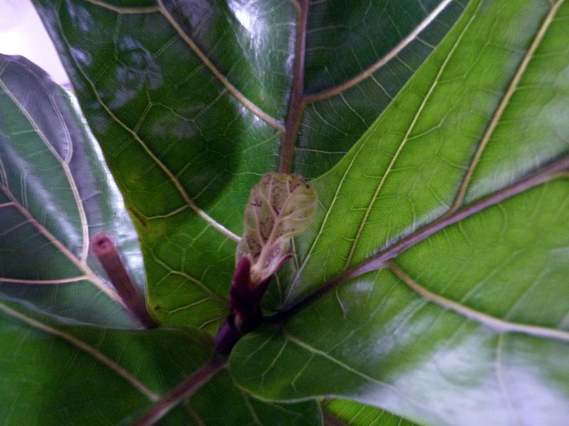 ficus lyrata Ficusl10
