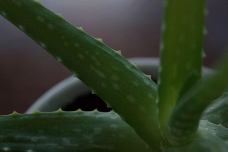 Aloe Vera ou autre variété ? Captur19