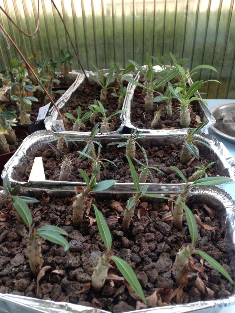 Pachypodium, Euphorbia etc. chez LuiColl Img_0712