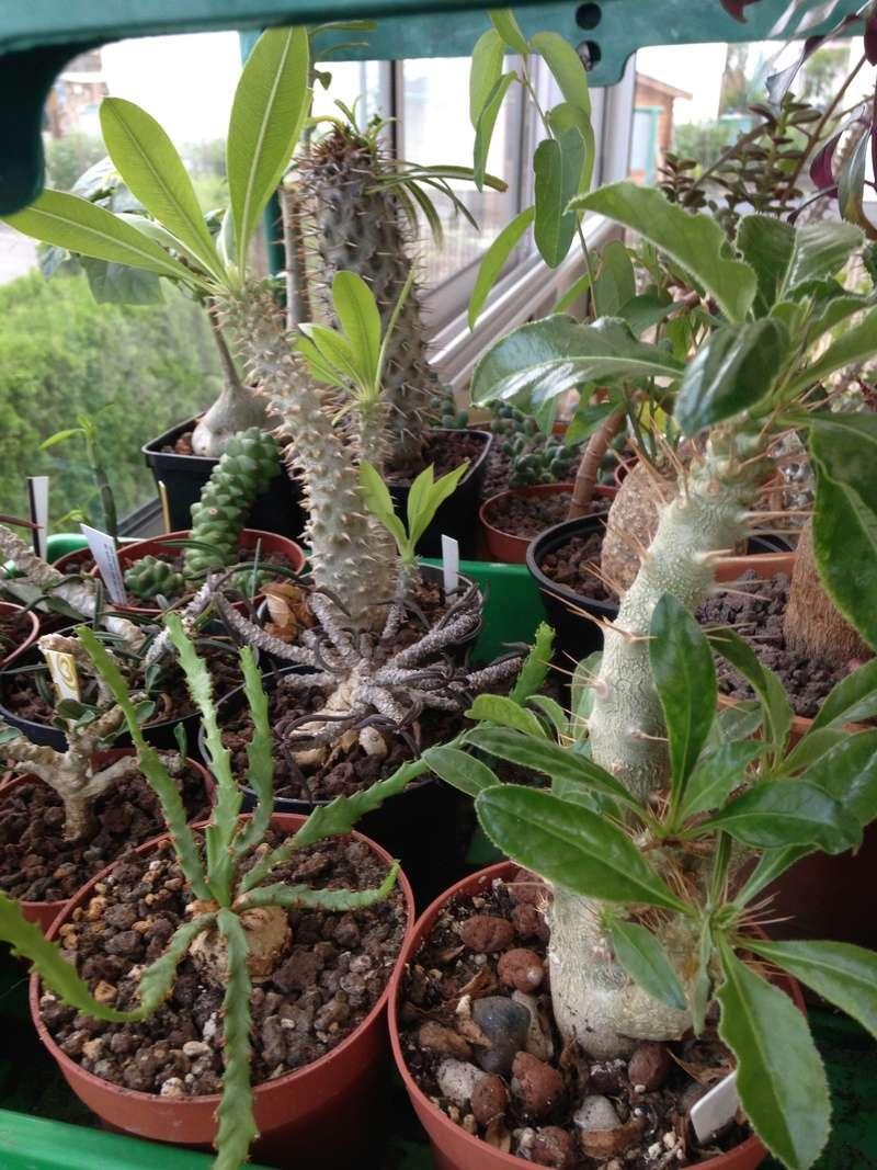 Pachypodium, Euphorbia etc. chez LuiColl Img_0713
