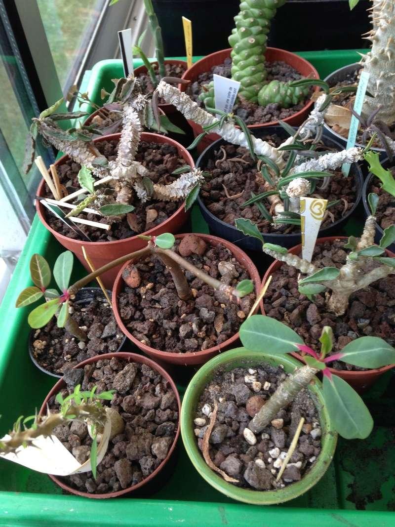 Pachypodium, Euphorbia etc. chez LuiColl Img_0715
