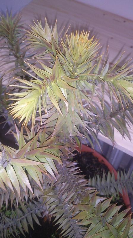 Araucaria araucana Auraca12