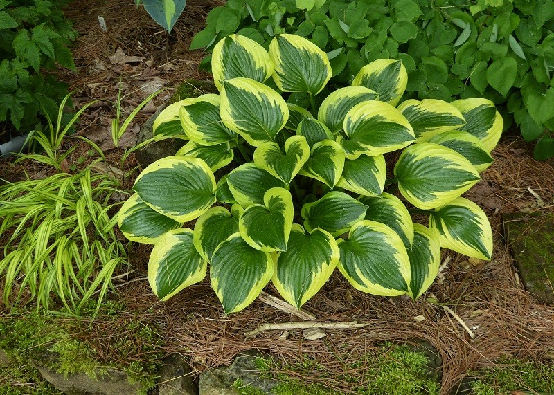 Guide d'identification: Hostas par photos - Page 3 Hosta_32