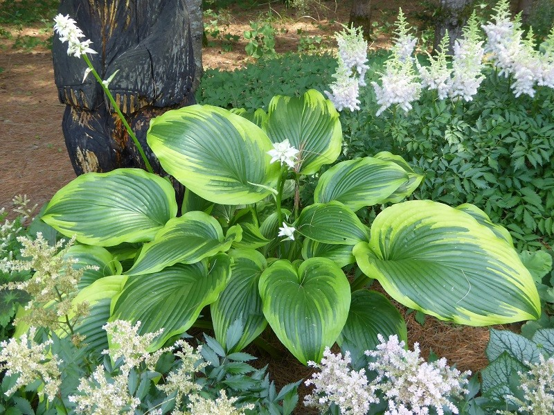 Guide d'identification: Hostas par photos - Page 3 Montan10