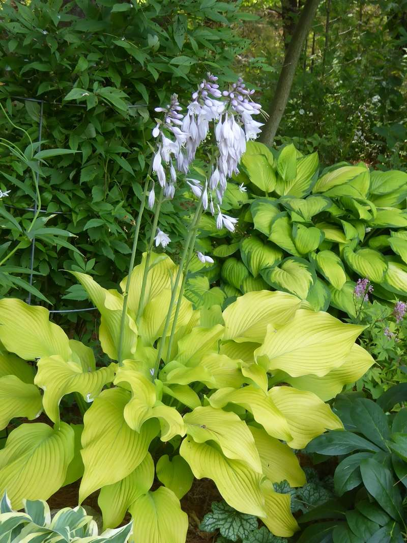 Guide d'identification: Hostas par photos - Page 3 Sunpow11