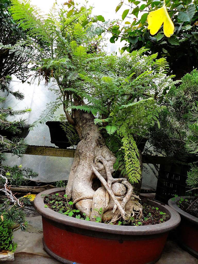 Jacaranda Mimosifolia 81646510