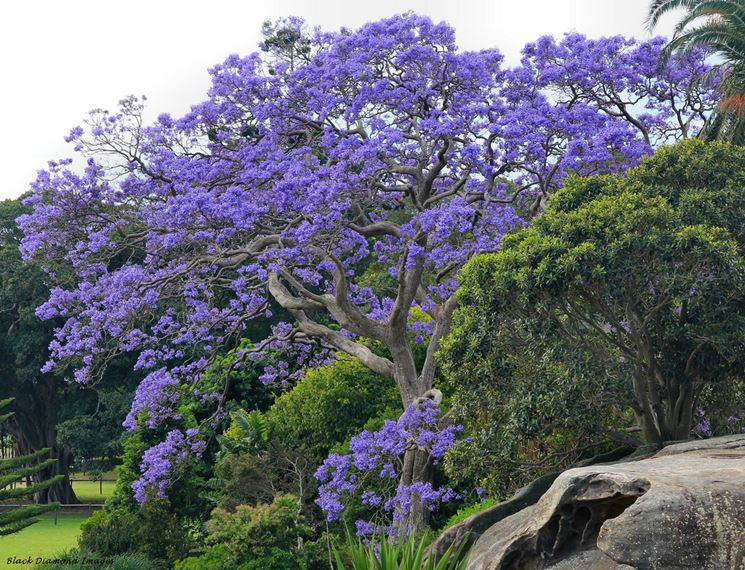 Jacaranda Mimosifolia Jacara10