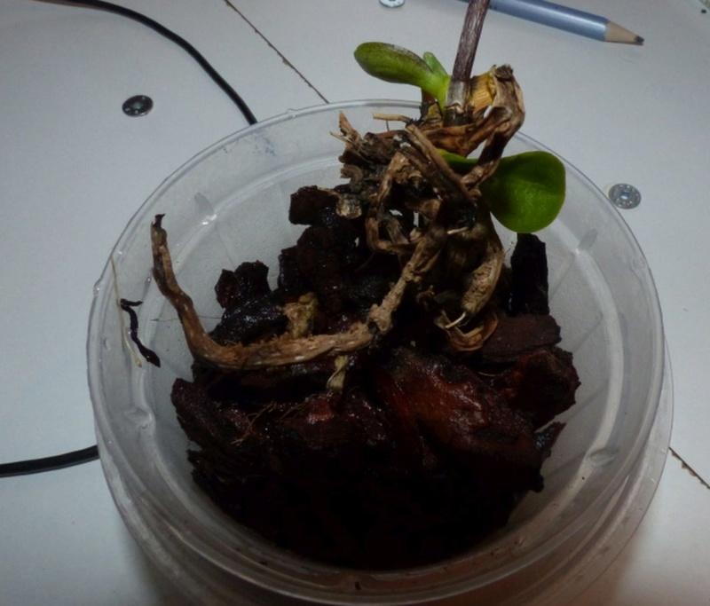 Hat die Phalaenopsis noch eine Chance? Orchid10