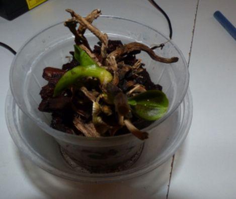 Hat die Phalaenopsis noch eine Chance? Orchid11