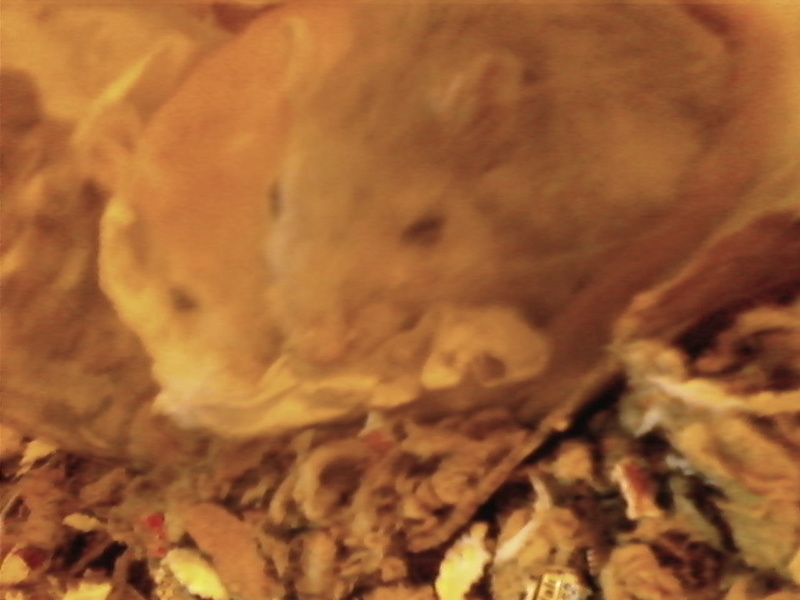 Pictures of my gerbils :) 1106-114