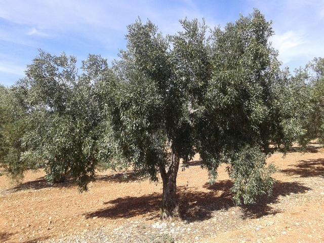 ¿Qué variedad es esta? (Sierra Sur - Sevilla) 20170616