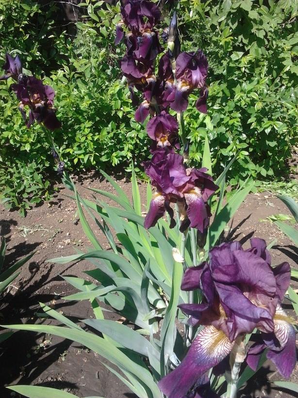 Садовые многолетние цветы - давайте меняться - Страница 6 Uouy10