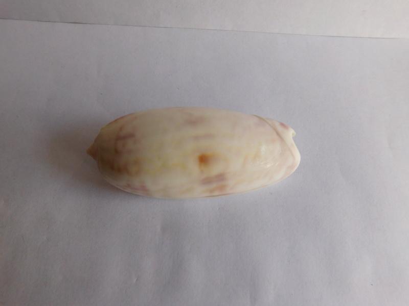 identification Olivancillaria? 68mm Dscn9617