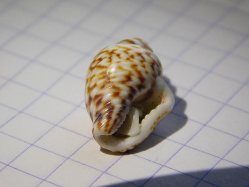 jolie petit coquillage Dscn9722