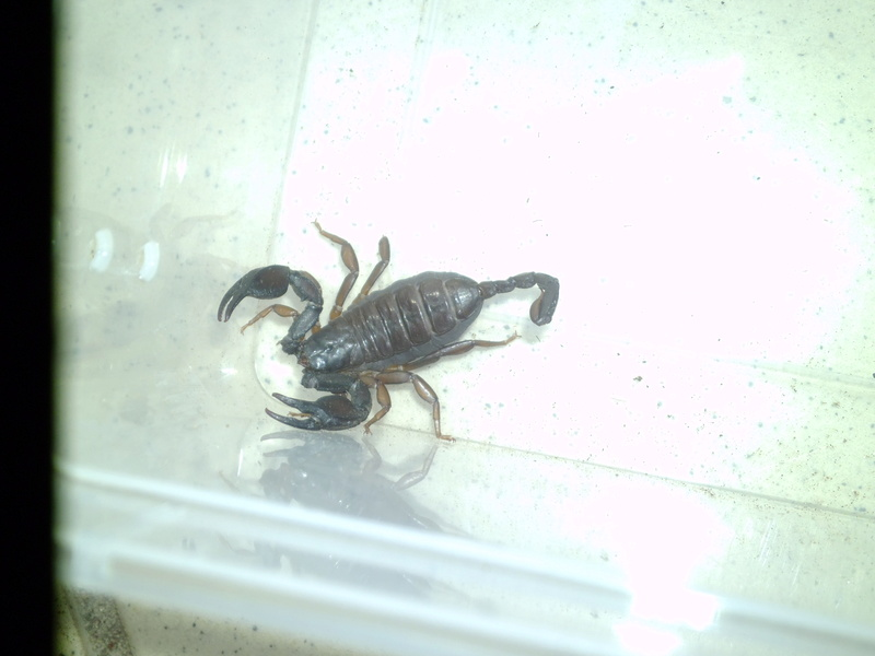 Is my scorpion fat? P1030411