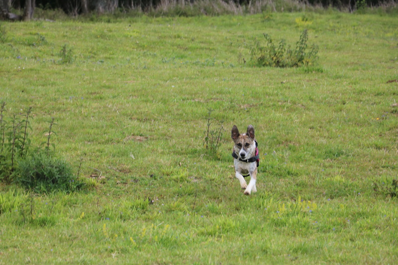 VOLVIC - Femelle croisée lévrier, taille moyenne née env 2013 (PASCANI) - adoptée par Marie (dpt51) - Page 6 Img_0910