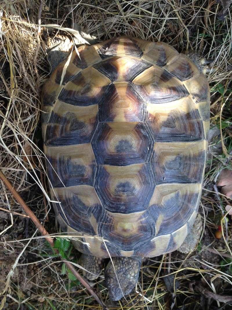Identification tortue terrestre  00510