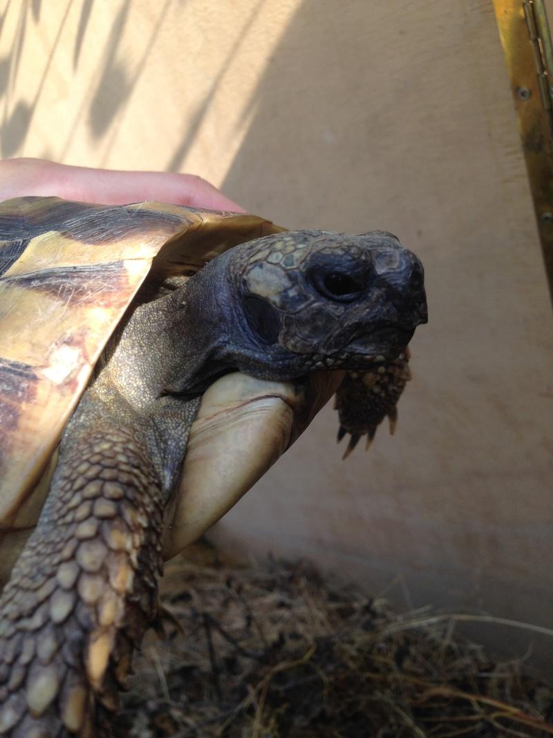 Identification tortue terrestre  00610