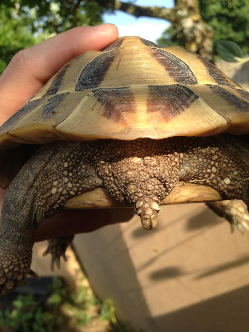 Identification tortue terrestre  00710