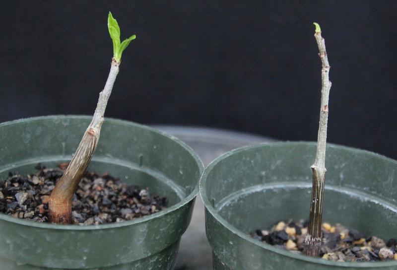 Baobab bonsai Baobab11