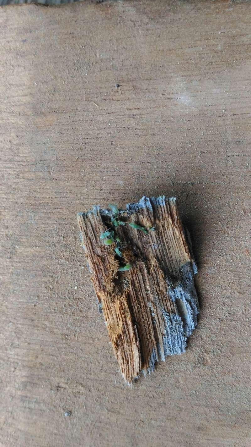 Insecte volant dans le bois P_201715