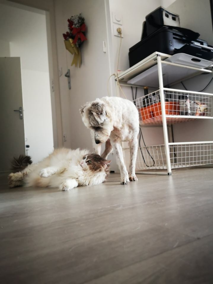 Idéfix - mâle x fox terrier (01/01/2008) 20190340
