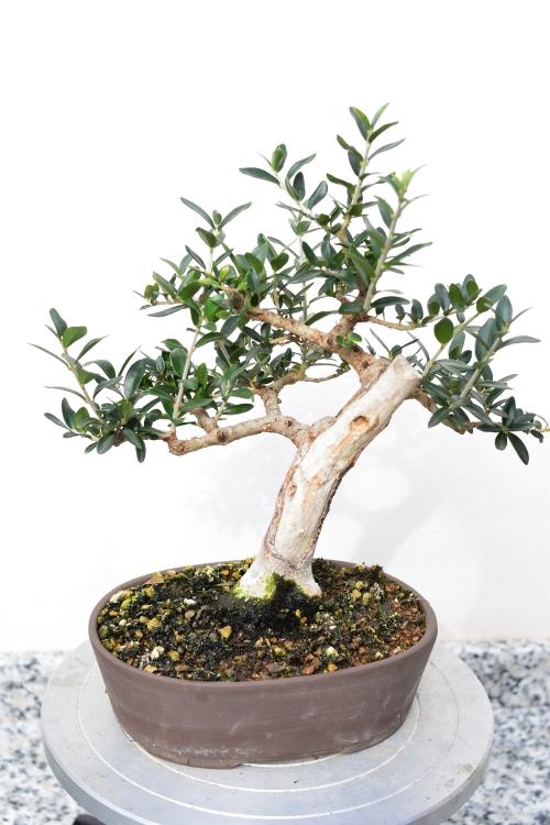 Recuperación y evolución de dos olivos yamadori (2014 - ACTUALIDAD) Dsc_1311